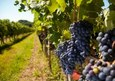 Hoe kan ik het beste druiven snoeien