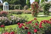 Hoe kan ik het beste rozen snoeien