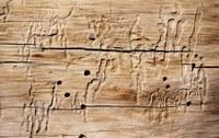 Hoe bestrijd ik houtworm