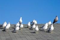 Hoe weer ik meeuwen van mijn dak