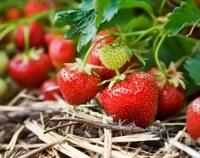 Hoe kweek ik aardbeien