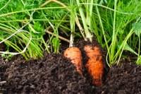 Hoe kweek ik wortels